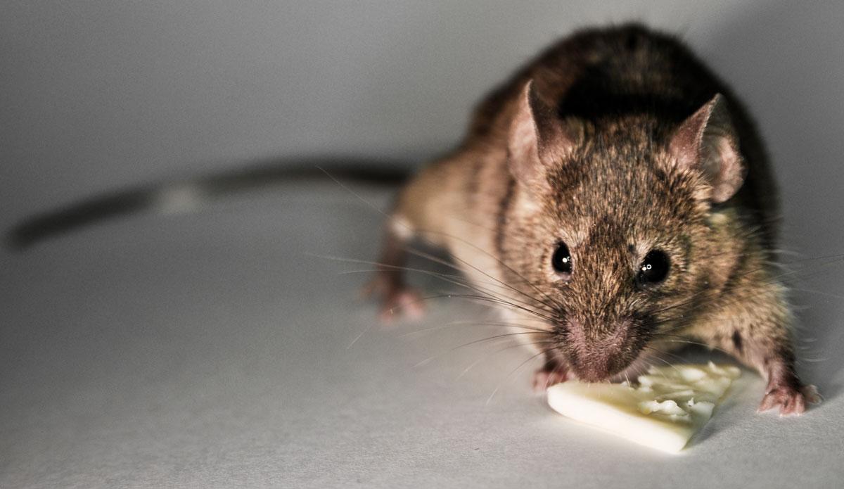Rat Control London, rat eating Cheese